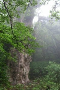 パワーをもらえる屋久島の縄文杉。